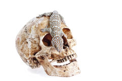 Gecko στο κρανίο Στοκ εικόνα με δικαίωμα ελεύθερης χρήσης