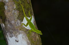 Gecko στο σκοτεινό τροπικό δάσος Στοκ Εικόνα