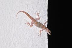 Gecko στο υπόβαθρο του άσπρου τοίχου Στοκ Εικόνες