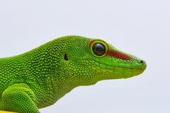 Gecko της Μαδαγασκάρης που απομονώνεται στο λευκό Στοκ Φωτογραφία