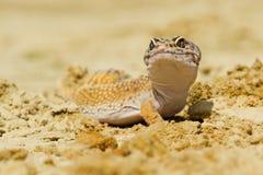 Gecko леопарда Стоковые Изображения