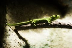 Gecko 02. A gecko photographed at the National Aquarium of New Zealand Stock Image