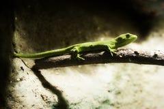 Gecko 02 Stock Image