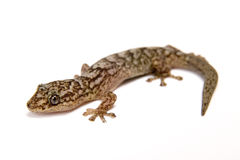 Gecko. Isolated on white surface royalty free stock image