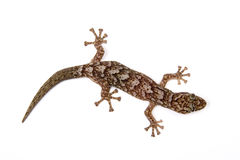 Gecko. Isolated on white surface stock photo
