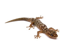 Gecko. Isolated on white surface stock image