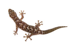 Gecko. Isolated on white surface stock photos