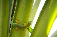 Gecko Foto de Stock Royalty Free