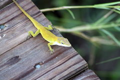 Gecko Photographie stock