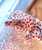 Gecko. Big lizard in terrarium Royalty Free Stock Images