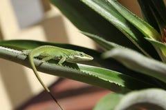 gecko royalty-vrije stock fotografie