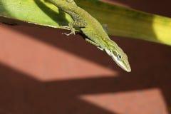 gecko royalty-vrije stock foto's