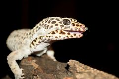Close Up Shot of Leopard Gecko Shedding Skin. Close Up Shot of Leopard Gecko with Open Mouth Shedding Skin while Sitting on a Log royalty free stock photo