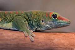 Gecko. Close up of a small lizard stock photo