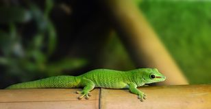 Gecko. A green gecko posing on a piece of bamboo stock photo