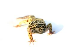 Gecko Royalty Free Stock Photos
