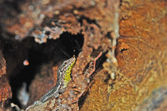 The gecko Royalty Free Stock Photo