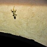 Gecko photos libres de droits