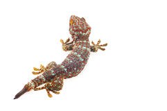 Gecko. Large Gecko isolated on white background Stock Photography