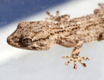 Gecko Stock Photos