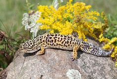 Gecko. On a rock in nature Royalty Free Stock Images