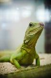 gecko Стоковое Изображение