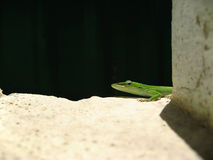 Gecko. Little green Gecko looking around, black background Stock Image