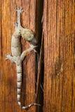 gecko Arkivfoton