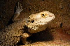 gecko Royaltyfria Bilder
