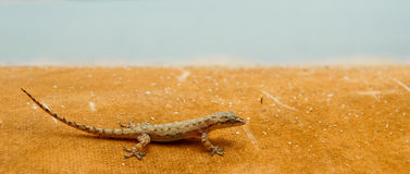 Gecko. Close up of a gecko on an orange surface Stock Photography