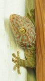 Gecko στοκ εικόνες