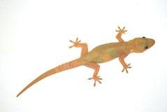 Gecko stock photos