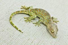 gecko Stock Afbeeldingen