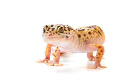 gecko Fotos de archivo libres de regalías