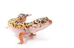 gecko Stock Fotografie