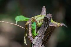 gecko Στοκ Φωτογραφία