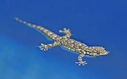 Gecko 012 Fotografering för Bildbyråer