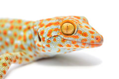 gecko Stock Afbeelding