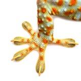 gecko Immagine Stock