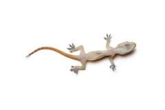 gecko Royaltyfri Fotografi