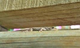 gecko Στοκ Εικόνα