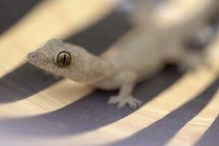 gecko Royalty-vrije Stock Afbeeldingen