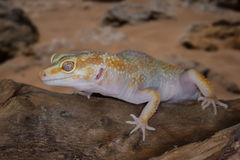 gecko Royalty-vrije Stock Foto