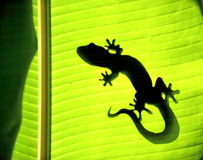 Gecko. Shadow on a banana tree royalty free stock image