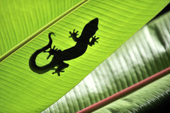 Gecko. Shadow on a banana tree stock images
