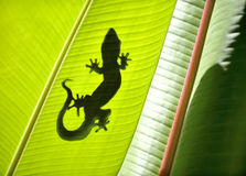 Gecko. Shadow on a banana tree stock photo