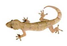 Gecko. In front of a white background stock photography