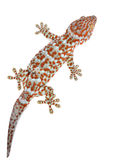 gecko photos stock