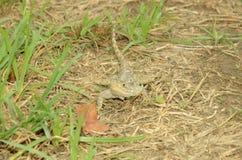 gecko Arkivbild