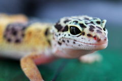 gecko Imagens de Stock Royalty Free